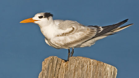 Royal%20Tern.jpg
