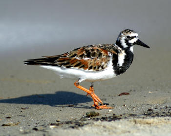 Ruddy%20Turnstone.jpg