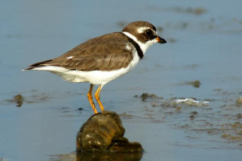 Semipalmated%20Plover.jpg