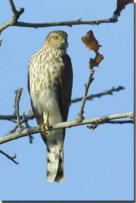 Sharp-shinned%20Hawk.jpg