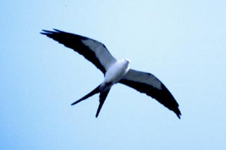 Swallow-tailed%20Kite.jpg