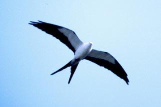 Swallow Tailed Kite Outdoor Alabama