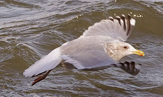 Thayer's%20Gull.jpg