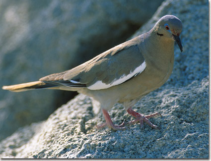 White-winged%20Dove.jpg