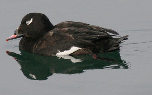 White-winged%20Scoter.jpg