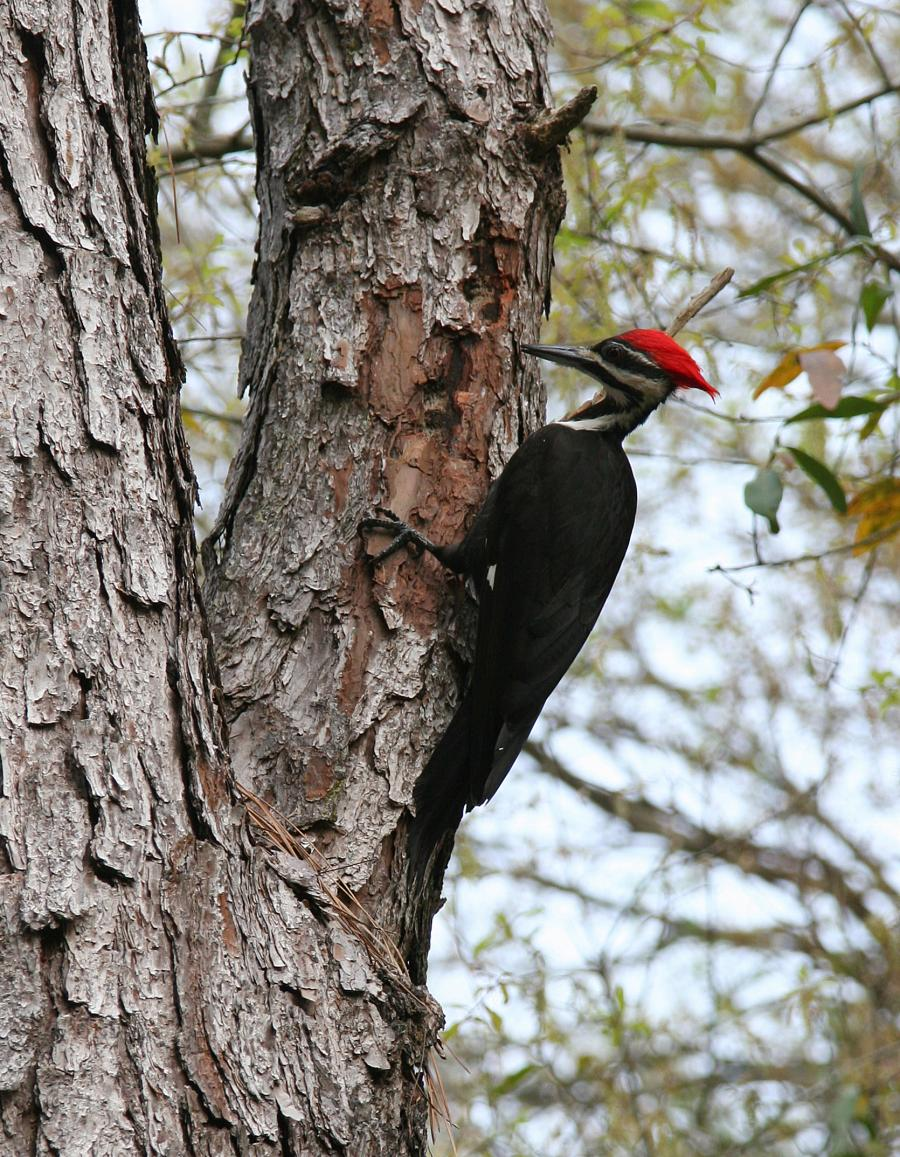 Pileated Woodpecker Outdoor Alabama