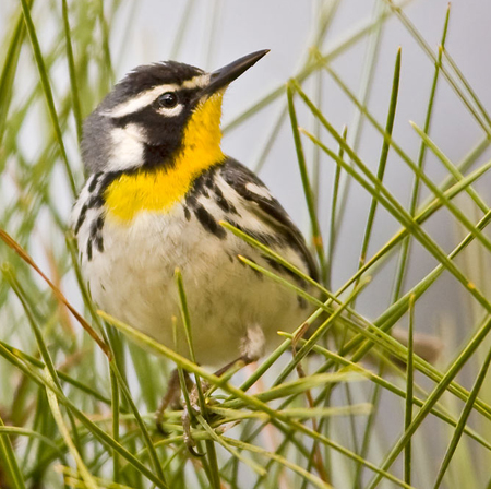 Yellow-throated%20Warbler.jpg