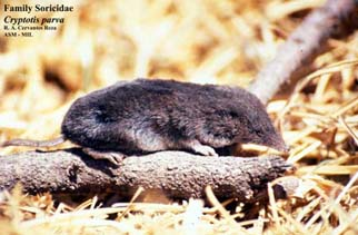 North%20American%20Least%20Shrew.jpg