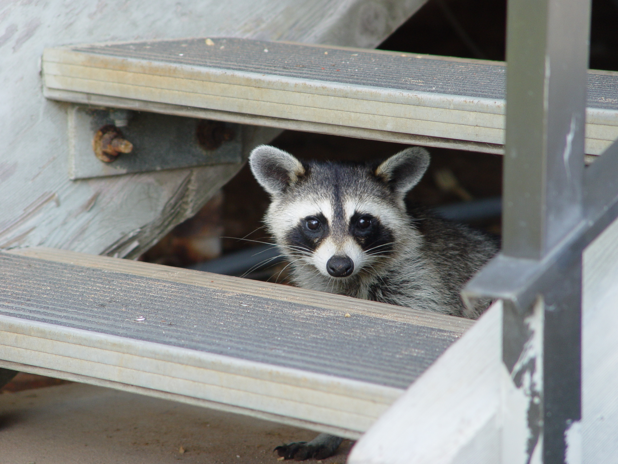 Raccoon under steps