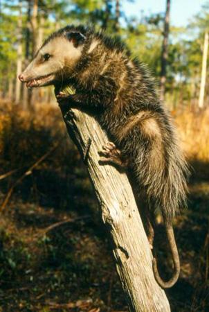 Opossum | Outdoor Alabama