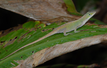 northern green anole outdoor alabama