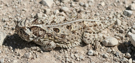 Texas%20Horned%20Lizard.jpg