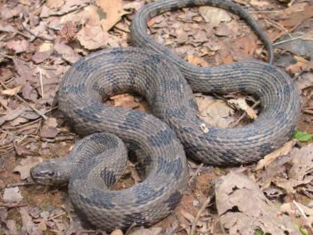 Non Venomous Snakes | Outdoor Alabama