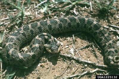 Eastern Hognose Snake Outdoor Alabama