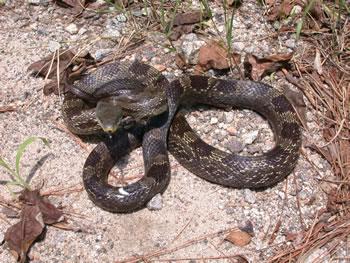 Gray Ratsnake   Outdoor Alabama