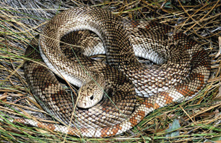 Snakes By Color Outdoor Alabama