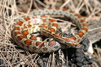orange and black snake