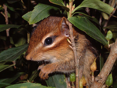 eastern chipmunk outdoor alabama