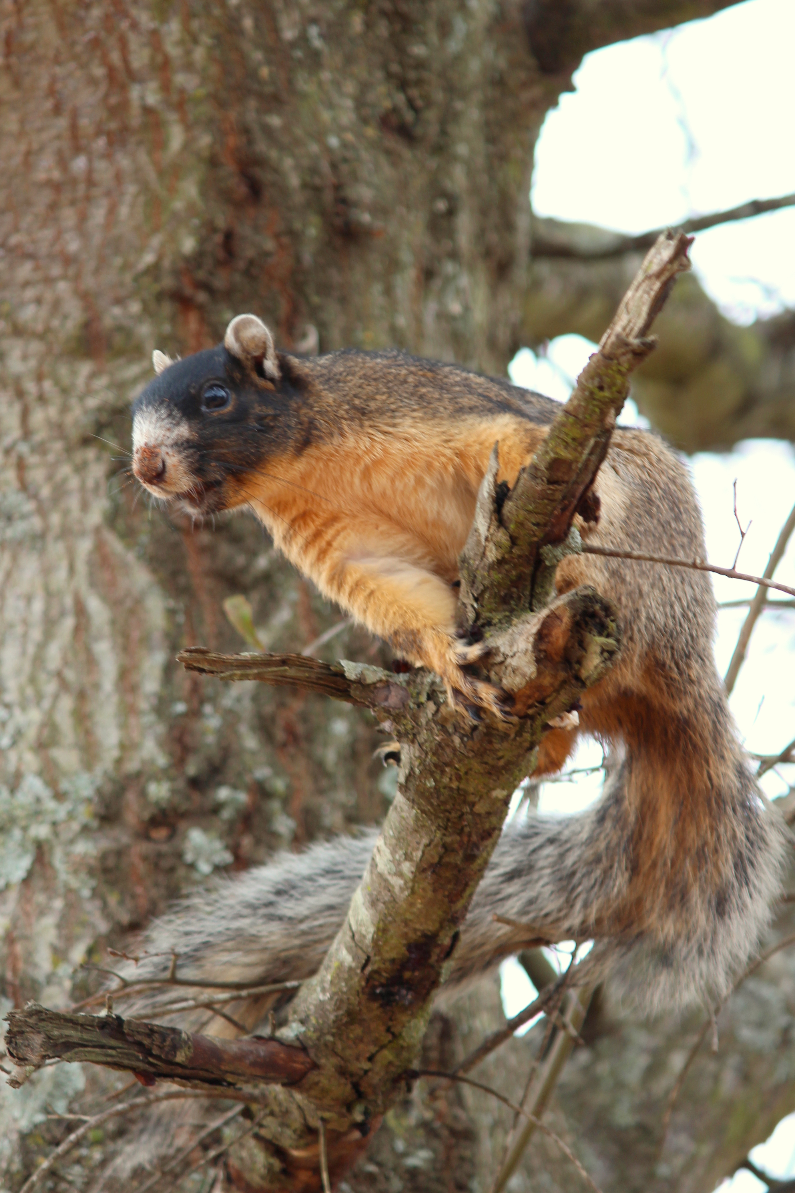fox squirrel outdoor alabama