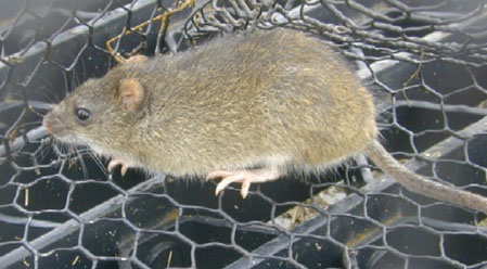 Rodents Outdoor Alabama