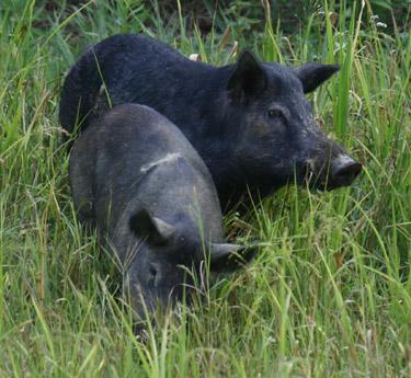 Wild Boar | Outdoor Alabama