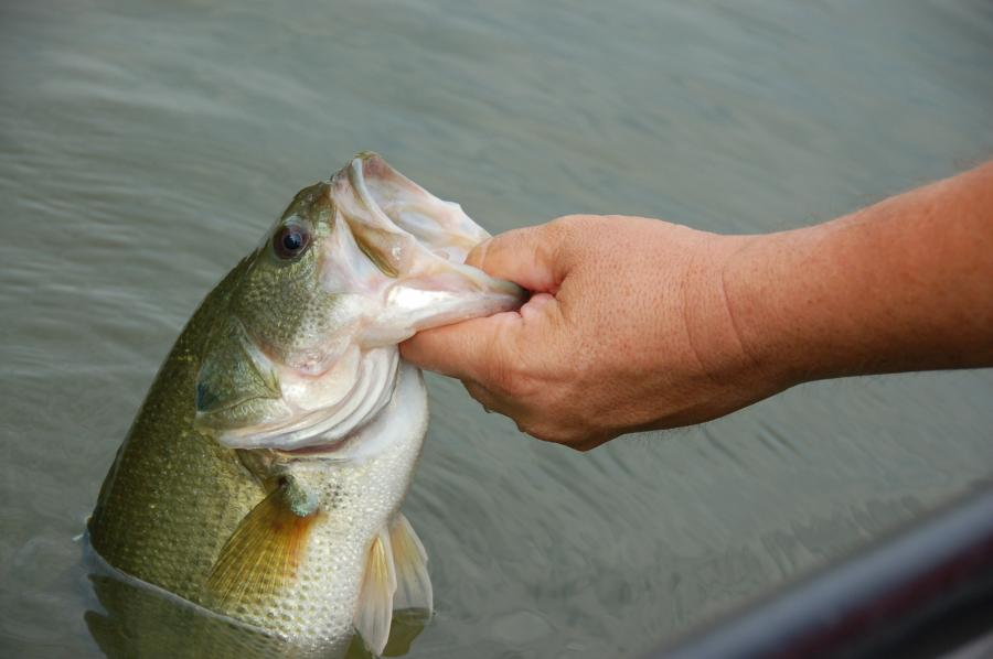 When handling bass, grasp by the lower jaw and hold the fish vertically.