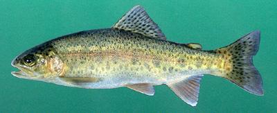 Rainbow Trout | Outdoor Alabama