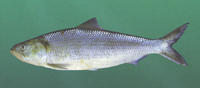 Skipjack Herring - East Tennessee Fishing  Skipjack Minnow