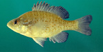 Orangespotted Sunfish picture