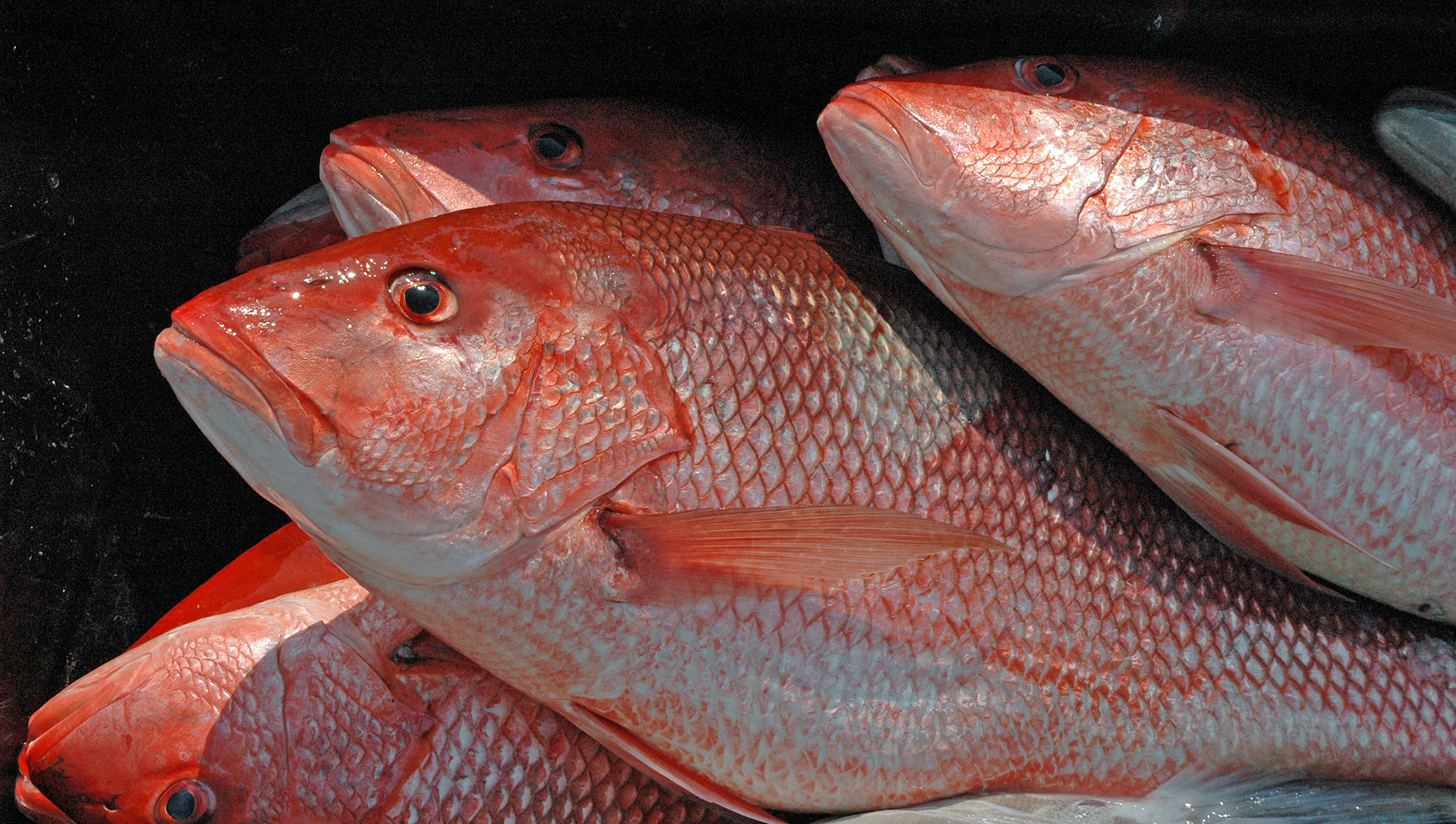 Alabama Opens for Red Snapper Fishing on Friday, June 1